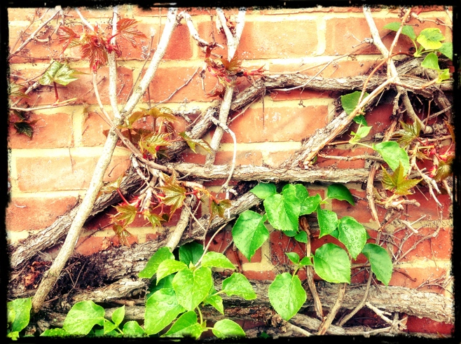 Ivy growing on brick wall