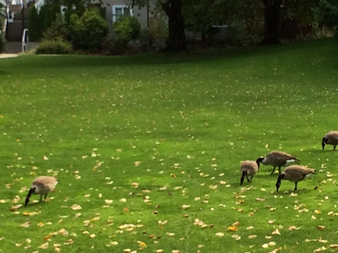 Canadian geese on the lawn