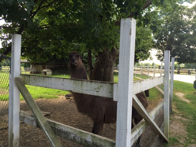 Lama behind a white fence