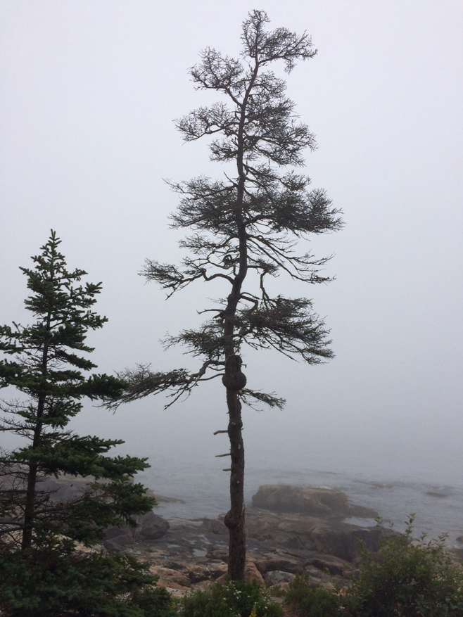 Pine tree standing by edge of cliff