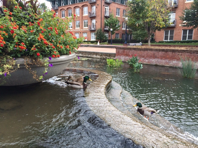 Ducks in the canal