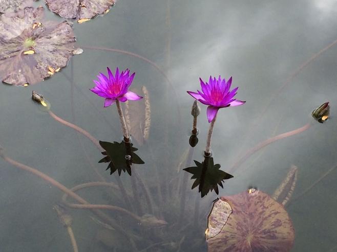 Purple water lilies