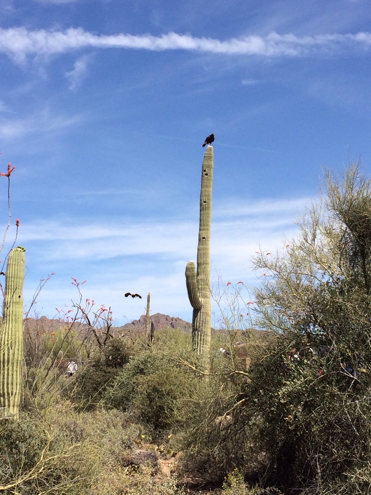 Falcons on cacti