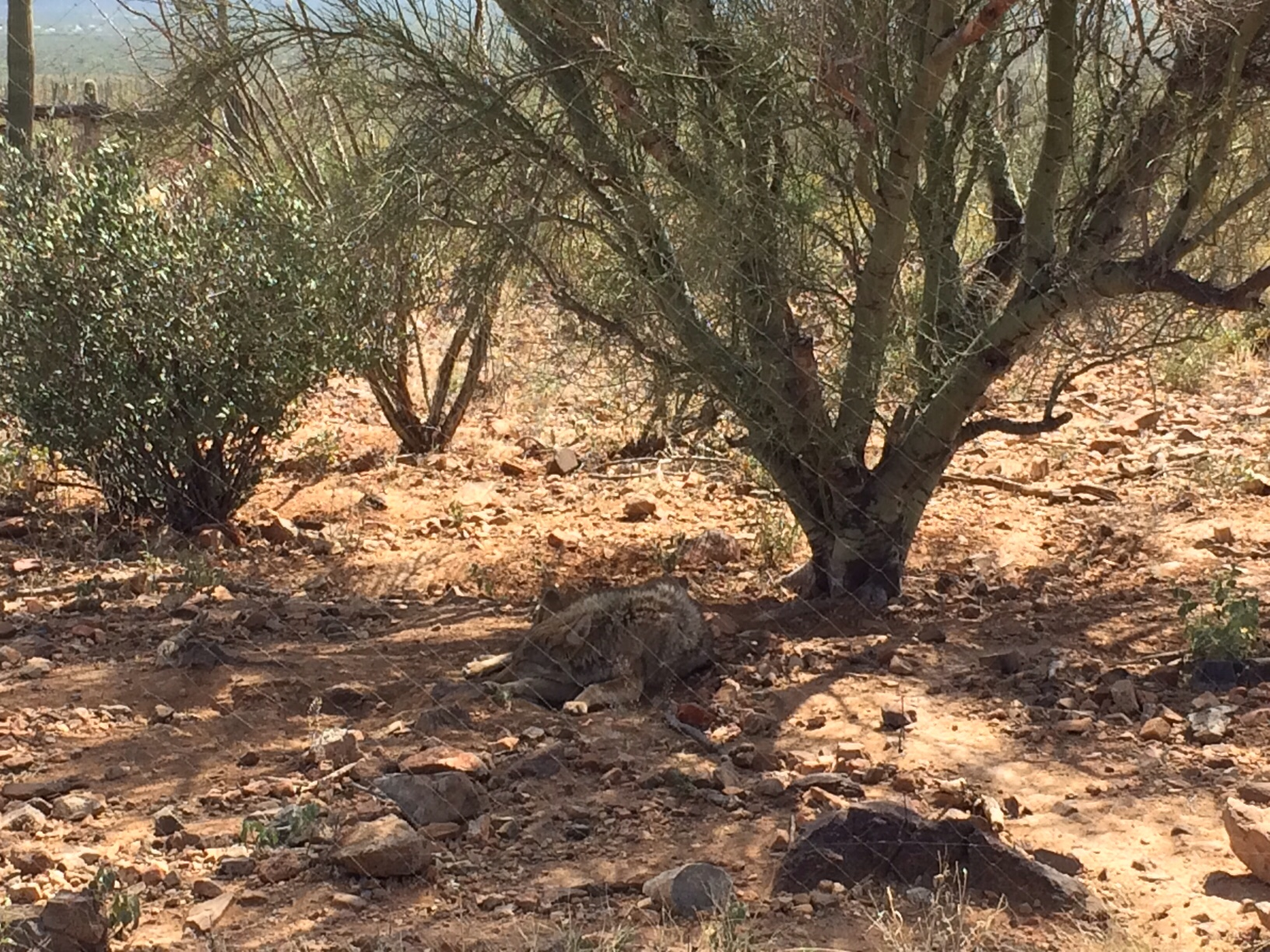 Javelina resting in shade