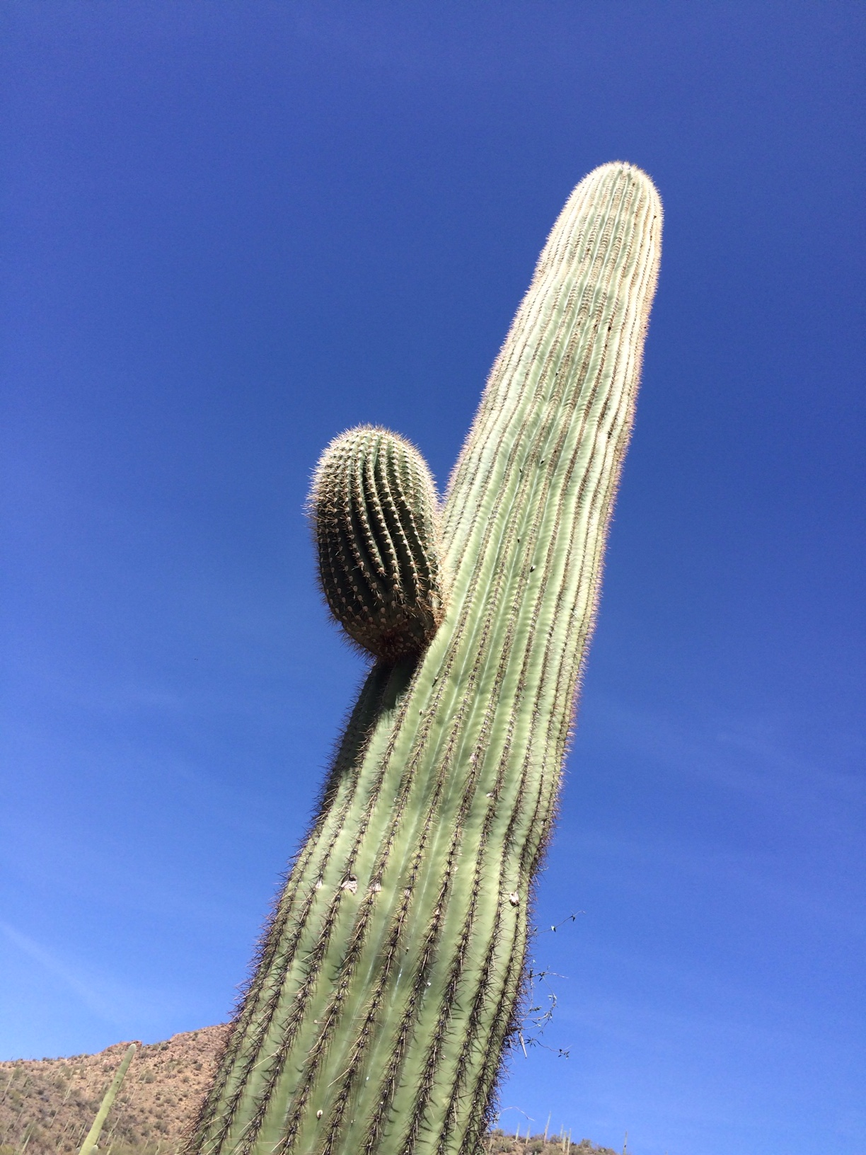 Saguaro with one bloom