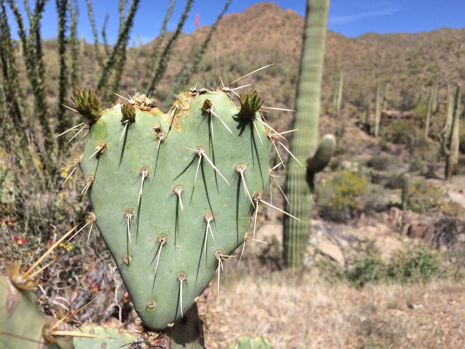 Cactus shaped like a heart