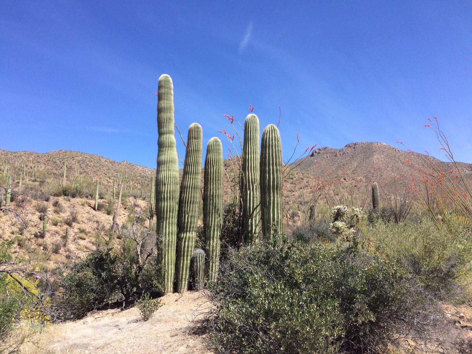 Six saguaros